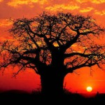Baobab-tree-in-sunset